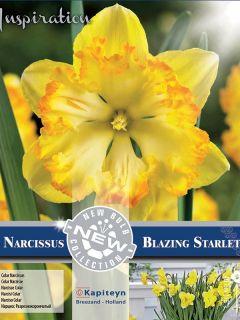 Narcisse Blazing Starlet - Nacisse à couronne fendue