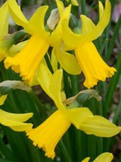Narcisse cyclamineus 'February Gold'
