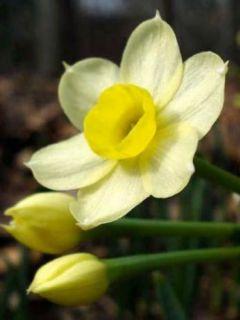 Narcisse Minnow