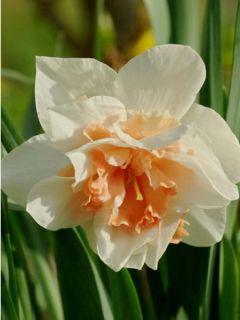 Narcisse Replète