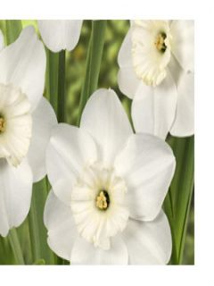 Narcisse 'Small Cupped Pipers End'