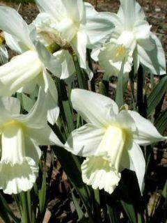 Narcisse Mount Hood