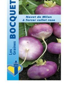 Navet de Milan à forcer à collet rose Atlantic - Brassica rapa