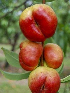 Nectarinier 'Flateryna'