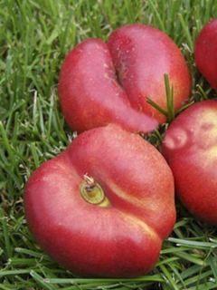 Nectarinier 'Plat'
