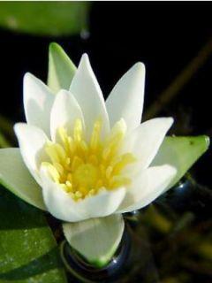 Nymphaea tetragona - Nénuphar nain blanc