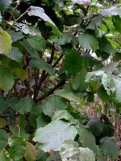 Noisetier commun - Corylus avellana en racines nues
