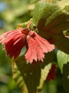 Corylus avellana Rode Zellernoot - Noisetier pourpre