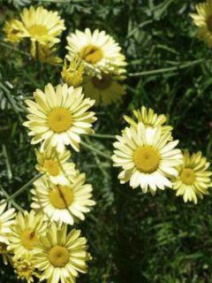 Anthemis tinctoria E.C. Buxton - Fausse Camomille