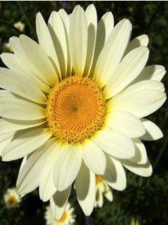 Anthemis tinctoria Sauce Hollandaise - Fausse Camomille