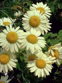 Anthemis tinctoria Wargrave Variety - Camomille des teinturiers