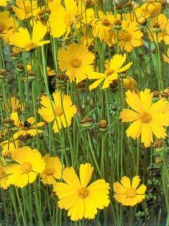 Coreopsis à grandes fleurs Badengold - Coreopsis grandiflora Badengold