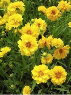 Coreopsis grandiflora Sunray - Oeil de jeune fille