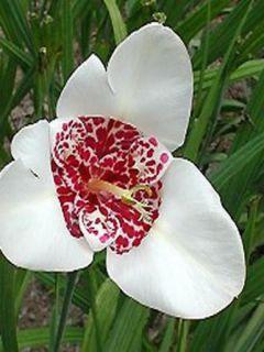 Tigridia pavonia Alba - Oeil de Paon