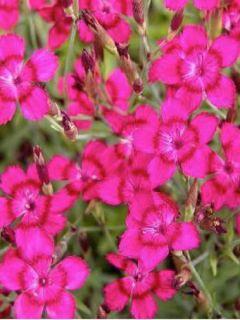 Dianthus deltoides Brillant, Oeillet à delta