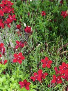Dianthus deltoides Flashing Light - Oeillet à delta rouge écarlate