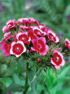 Graines de Dianthus  Indian Carpet Mixed  - Oeillet de poète à fleurs simples en mélange