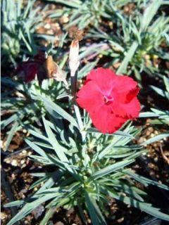 Dianthus gratianopolitanus Badenia - oeillet de pentecôte rouge