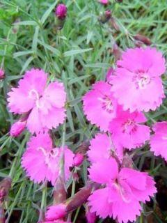 Dianthus gratianopolitanus Eydangeri - Oeillet de pentecôte rose magenta