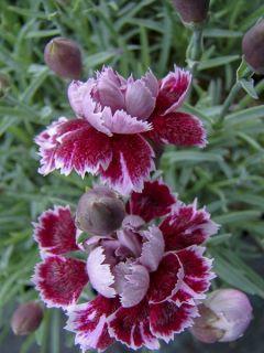 Dianthus gratianopolitanus Whatfield Gem - Œillet bleuâtre