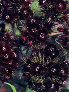 Dianthus barbatus Sooty, Oeillet