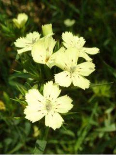 Dianthus knappii - Œillet botanique