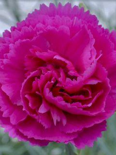 Dianthus plumarius Lily the Pink - Oeillet mignardise.