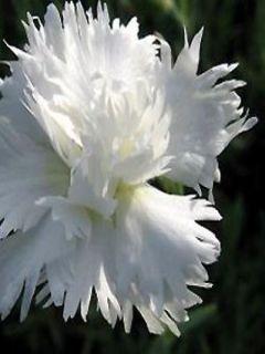 Dianthus plumarius Flore Pleno Albus, Oeillet