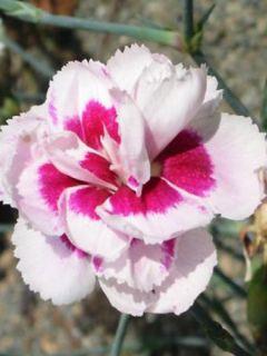 Dianthus allwoodii Alice - Oeillet mignardise rouge et blanc