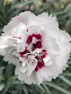 Dianthus plumarius Cranmere Pool - Oeillet mignardise