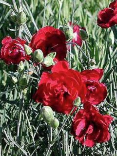 Dianthus plumarius Desmond, Oeillet