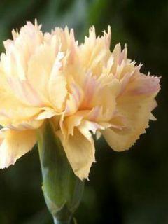 Dianthus plumarius Devon Cream - Oeillet mignardise