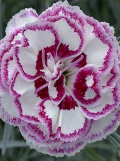 Dianthus plumarius Gran's Favourite - Oeillet mignardise