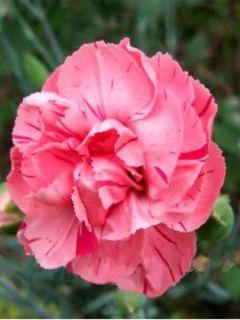 Dianthus plumarius Helen, Oeillet