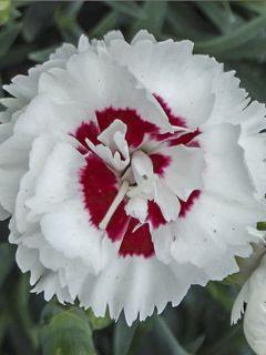 Dianthus plumarius Scent First Coconut Sundae - Oeillet mignardise