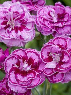 Dianthus plumarius Moulin Rouge (Pink Bicolour) - Oeillet mignardise