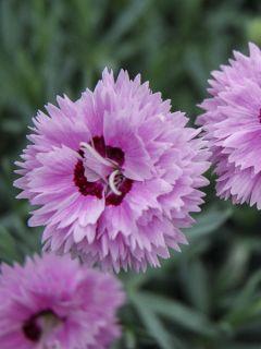 Dianthus Pop Star - Oeillet nain