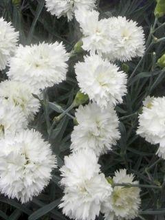 Dianthus plumarius Scent First Memories - Œillet mignardise