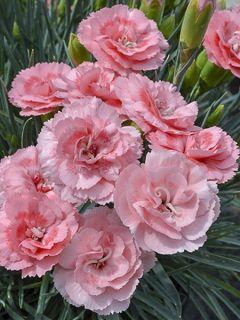 Dianthus (Plum. Gr.) Scent First® Romance - Oeillet mignardise.