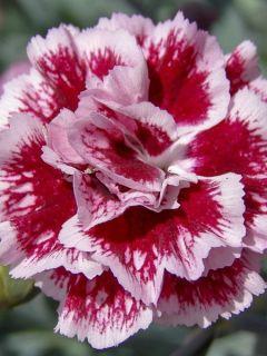 Dianthus Scent First® Sugar Plum  - Oeillet mignardise