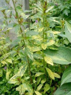 Oenothera fruticosa Camel - Oenothère à feuilles linéaires Camel - Onagre à feuilles panachées de jaune