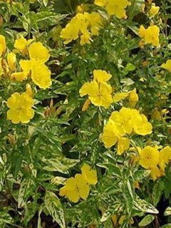 Oenothera fruticosa Silberblatt - Oenothère à feuilles linéaires Silberblatt - Onagre à feuilles panachées