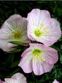 Onagre rose - Oenothere Siskiyou - Oenothera speciosa Siskiyou