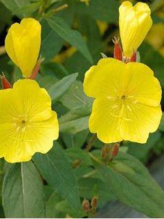 Oenothera tetragona - Onagre tétragone