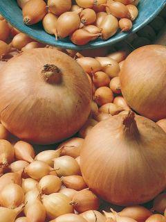 Oignon Sturon - Allium Cepa en plants