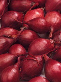 Oignon Red Karmen (rouge) en plants - Allium cepa