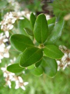 Olearia (x)  haastii - Aster en arbre