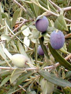 Olivier - Olea europaea pot de 7L 1/4 tige
