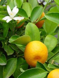 Agrume Calamondin - Citrus madurensis