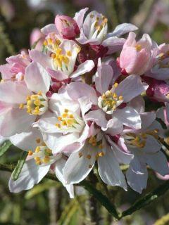 Oranger du Mexique 'Apple Blossom'